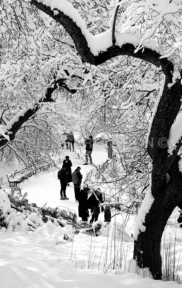 New York City.  Snow Filled Trees in Central Park