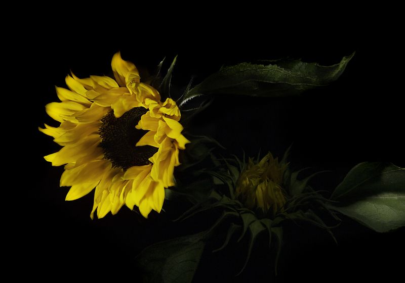Still Life - Sunflower